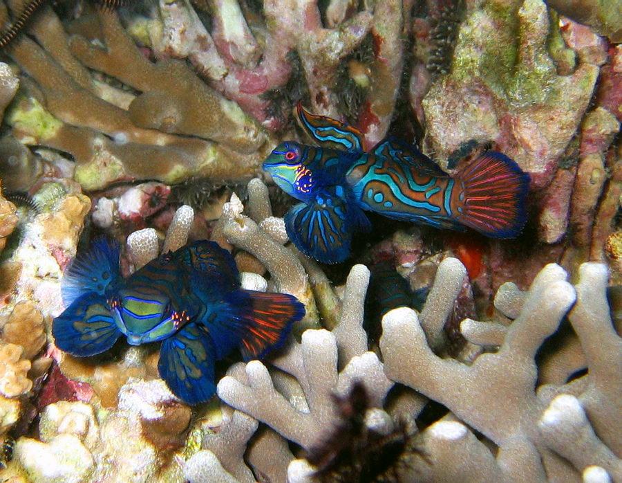 Mandarinfische