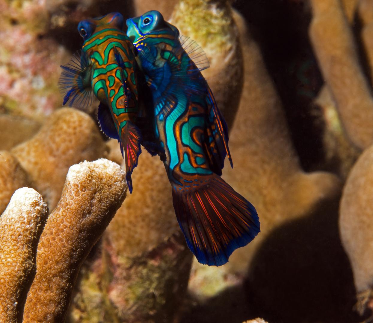Mandarinfischpärchen bei der Paarung vor Yap