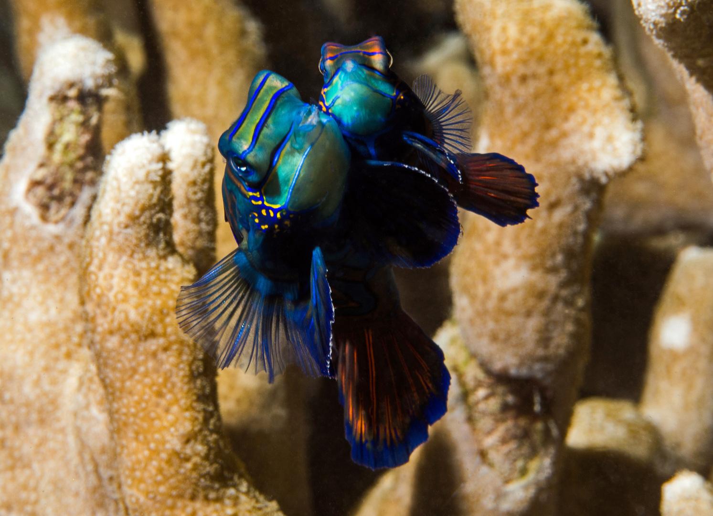 Mandarinfischpärchen vor Yap bei der Paarung