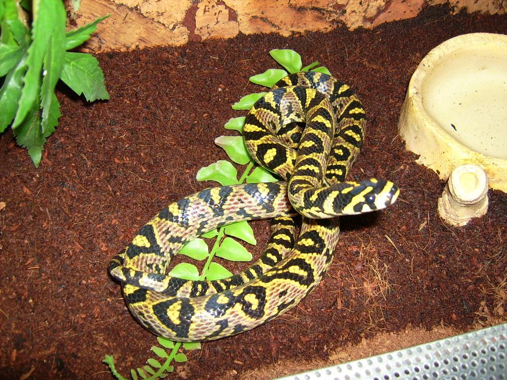 Mandarinnatter(Euprepiophis mandarinus)