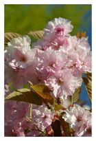 Mandel-Blüten