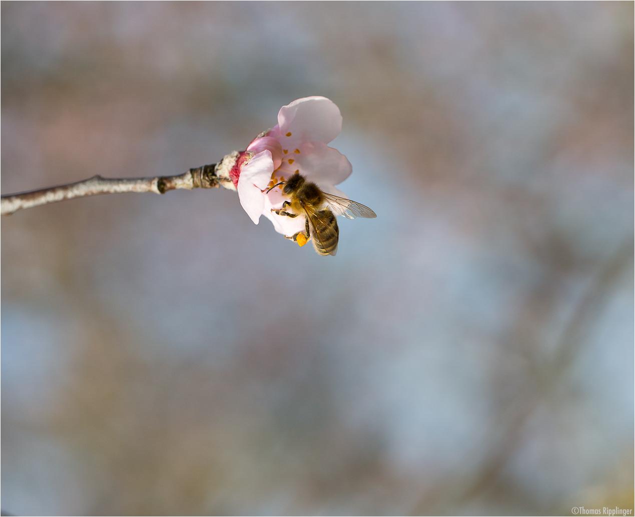 Mandel (Prunus dulcis).