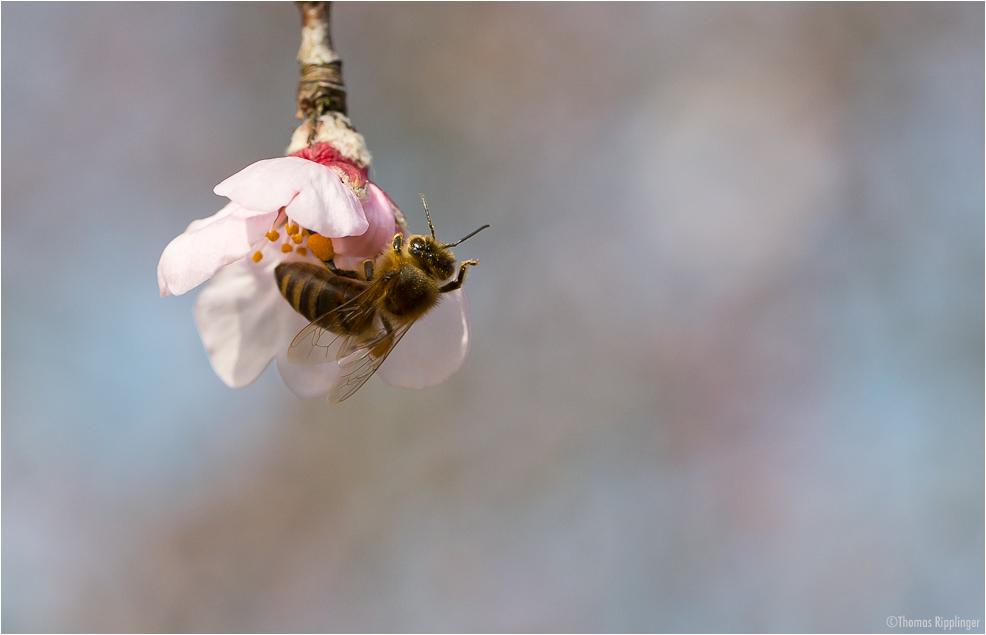 Mandel (Prunus dulcis)..
