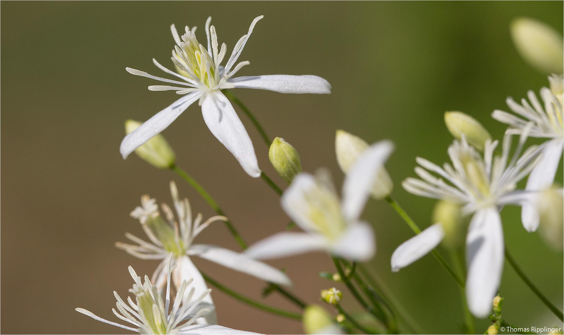 Mandel-Waldrebe (Clematis flammula)....