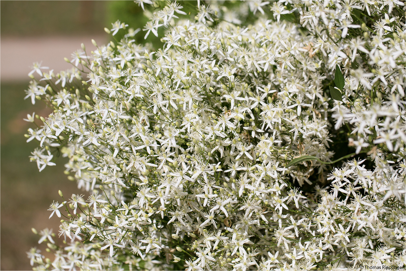 Mandel-Waldrebe (Clematis flammula)
