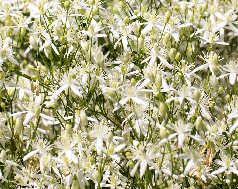 Mandel-Waldrebe (Clematis flammula)..