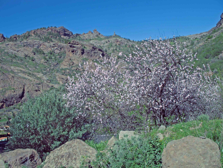 Mandelbäume  auf Gran  Canaria