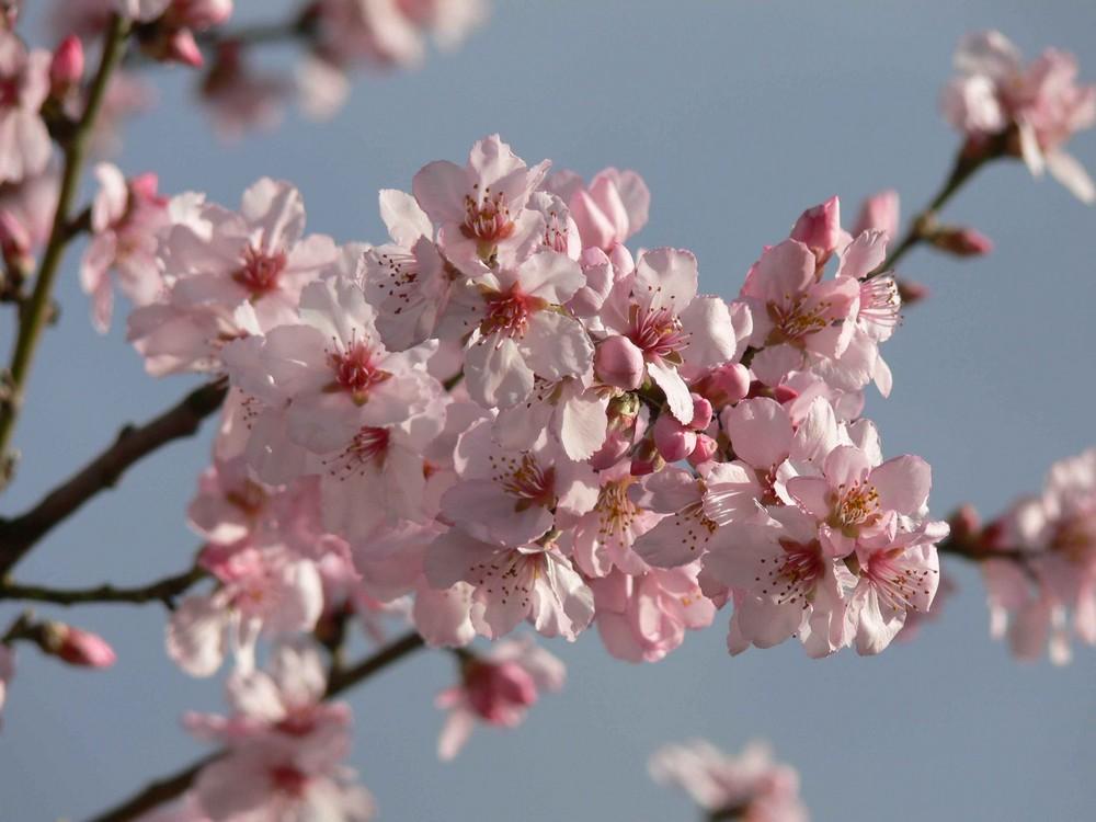 mandelbaum bl te bei niederrotweil kaiserstuhl foto bild pflanzen pilze flechten natur. Black Bedroom Furniture Sets. Home Design Ideas