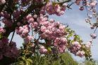 Mandelbaum-Blüten