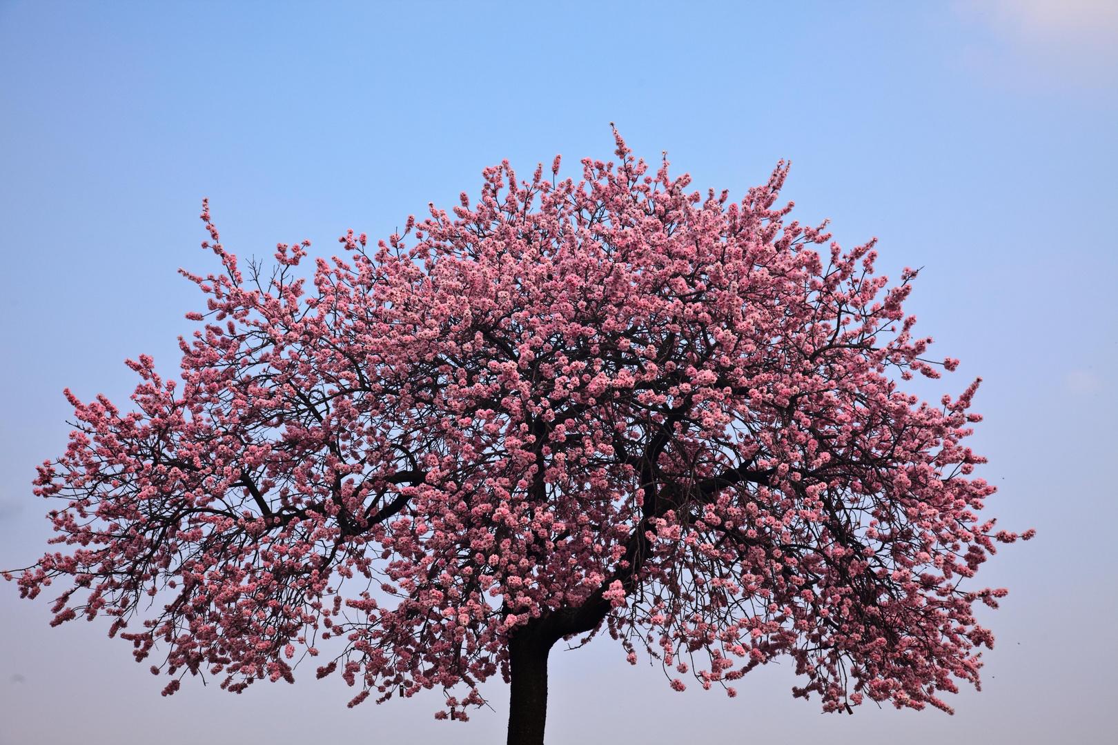 mandelbaum nicht aufgepfropft foto bild jahreszeiten fr hling natur bilder auf. Black Bedroom Furniture Sets. Home Design Ideas