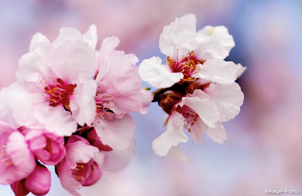 Mandelblüte 1