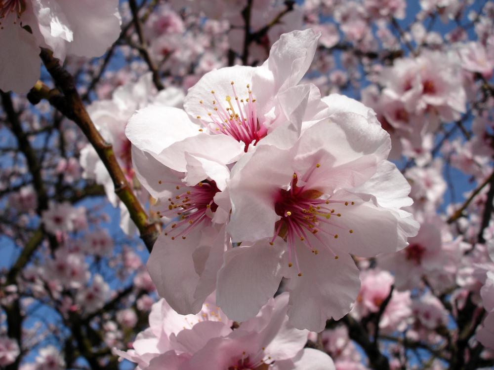 Mandelblüte (1)