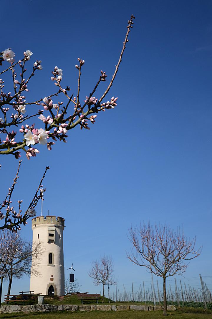 Mandelblüte am Wartturm