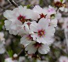 Mandelblüte auf Gran Canaria