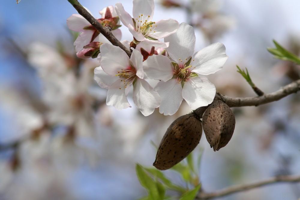 Mandelblüte auf Mallorca Feb.08