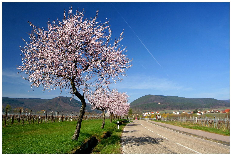 Mandelblüte bei Edenkoben