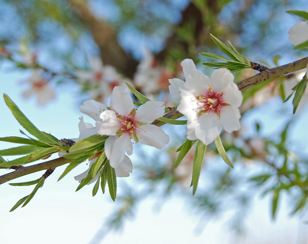 Mandelblüte..