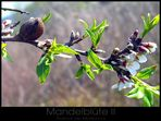 Mandelblüte II