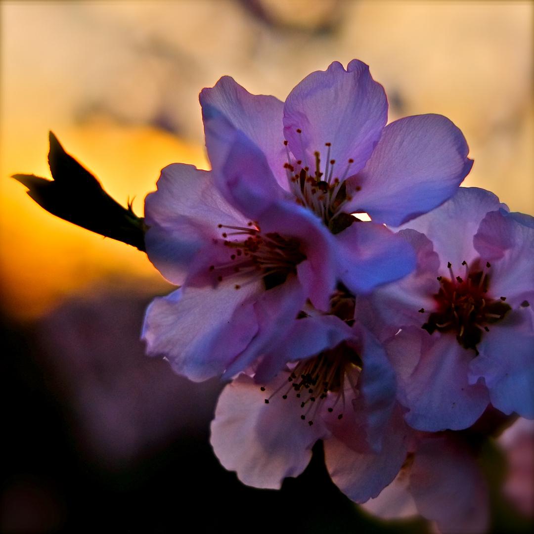 Mandelblüte im Gegenlicht