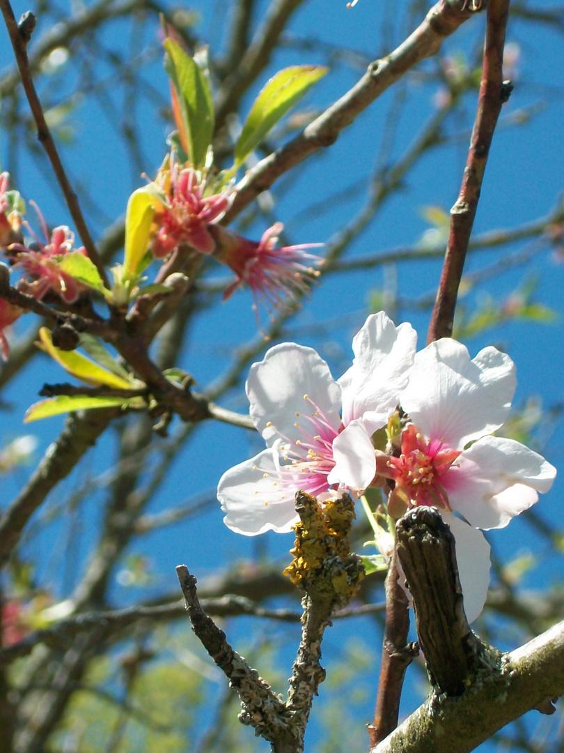 Mandelblüte im Kaiserstuhl