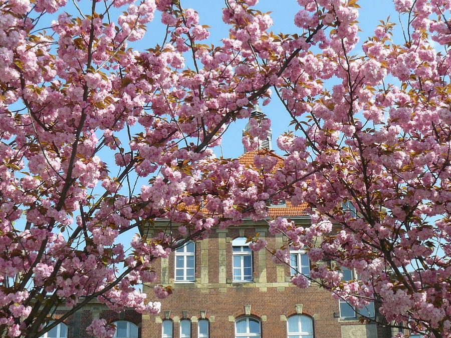 Mandelblüte in Berlin