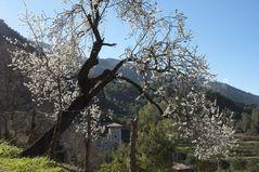 Mandelblüte in Biniaraix (Mallorca)