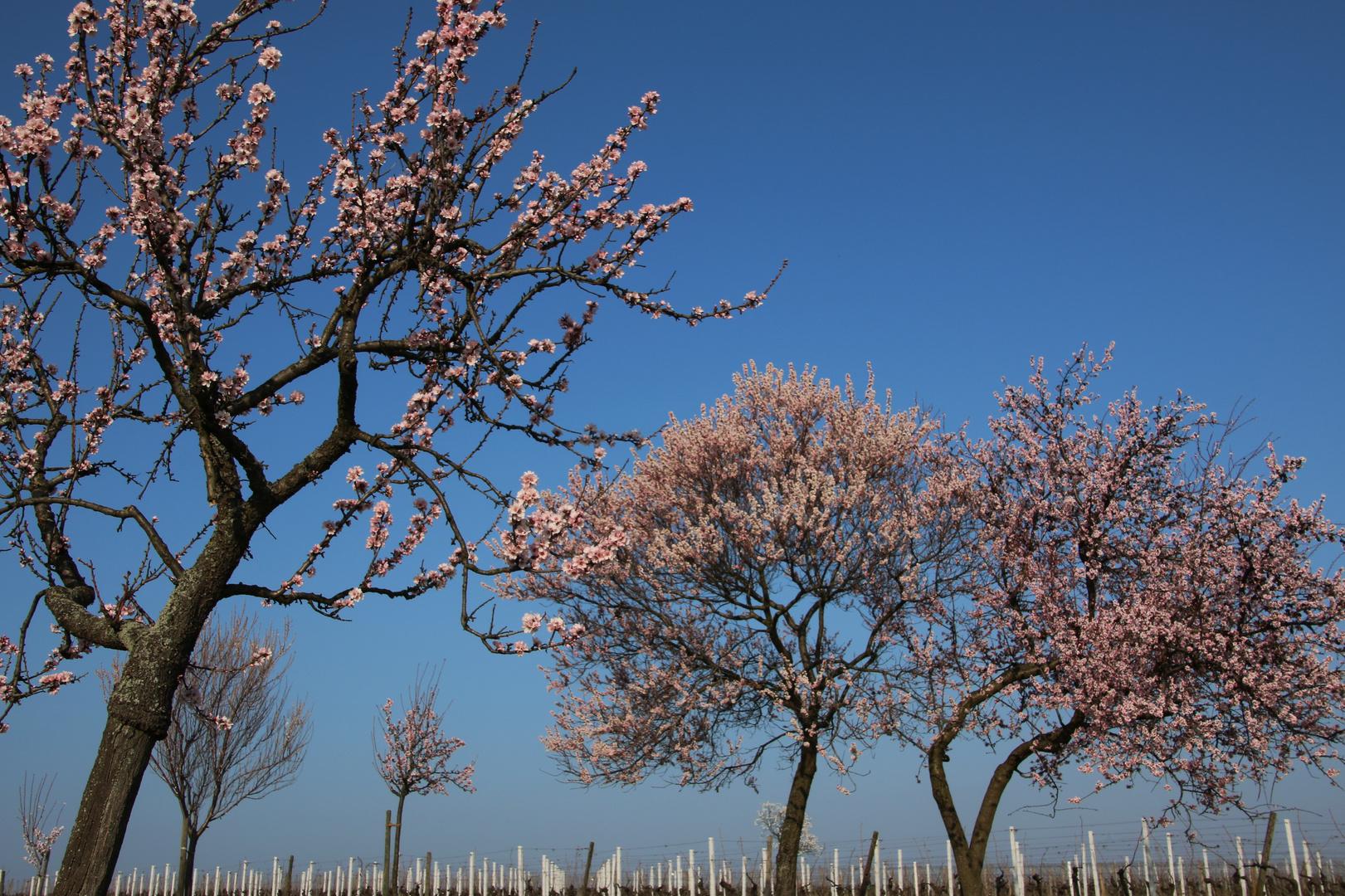 Mandelblüte in der Pfalz 1