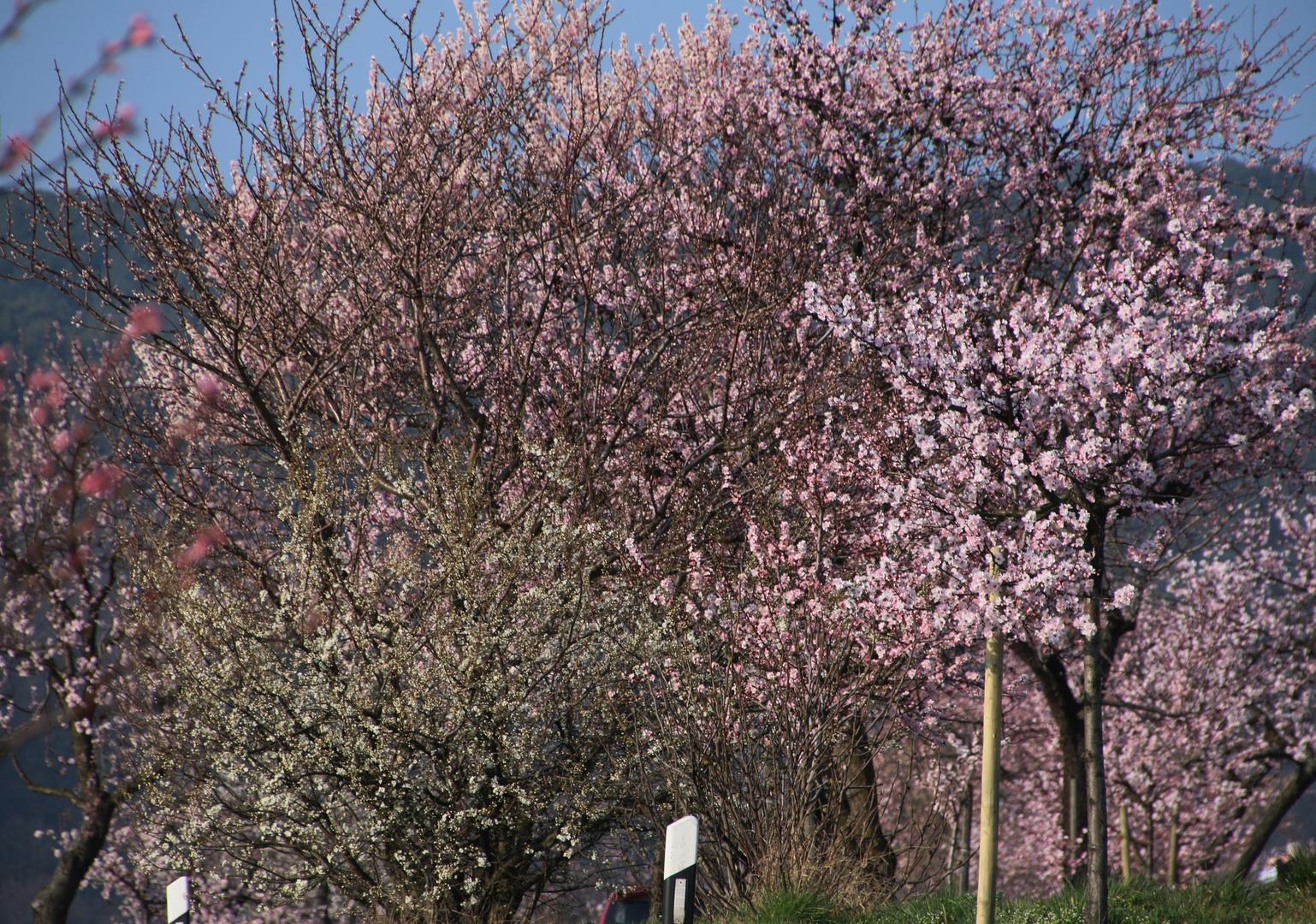 Mandelblüte in der Pfalz 11
