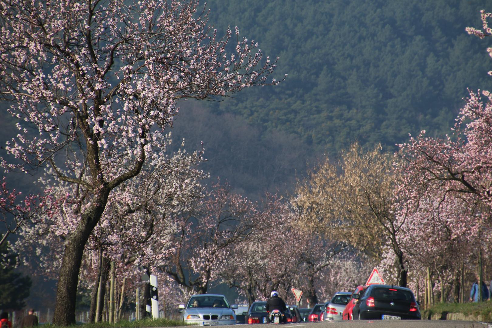Mandelblüte in der Pfalz 12