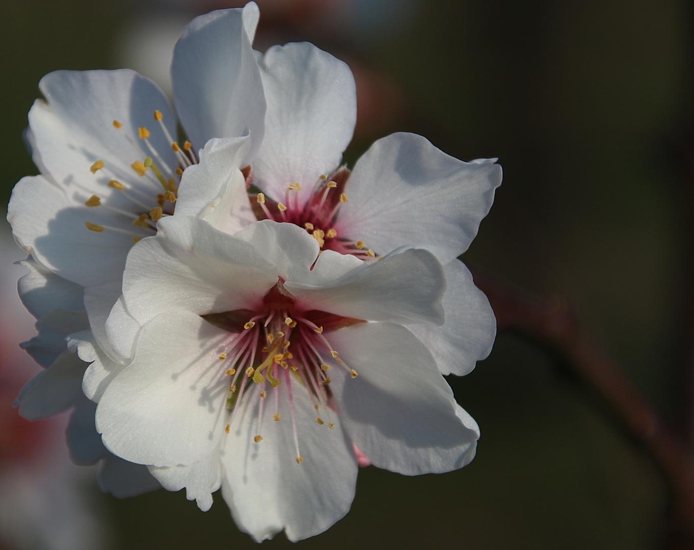 Mandelblüte in der Pfalz 13