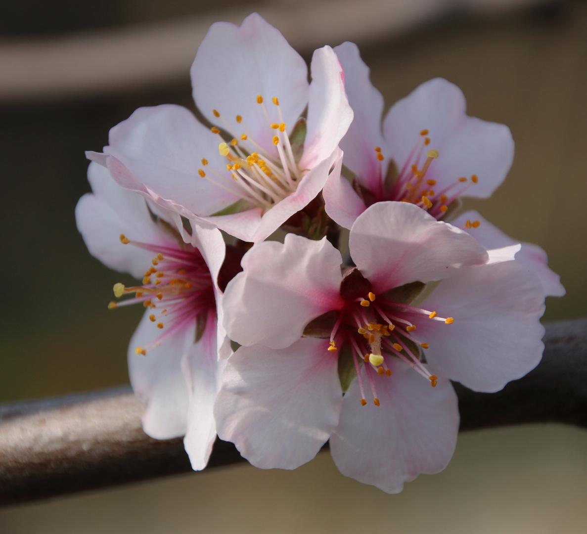 Mandelblüte in der Pfalz 2