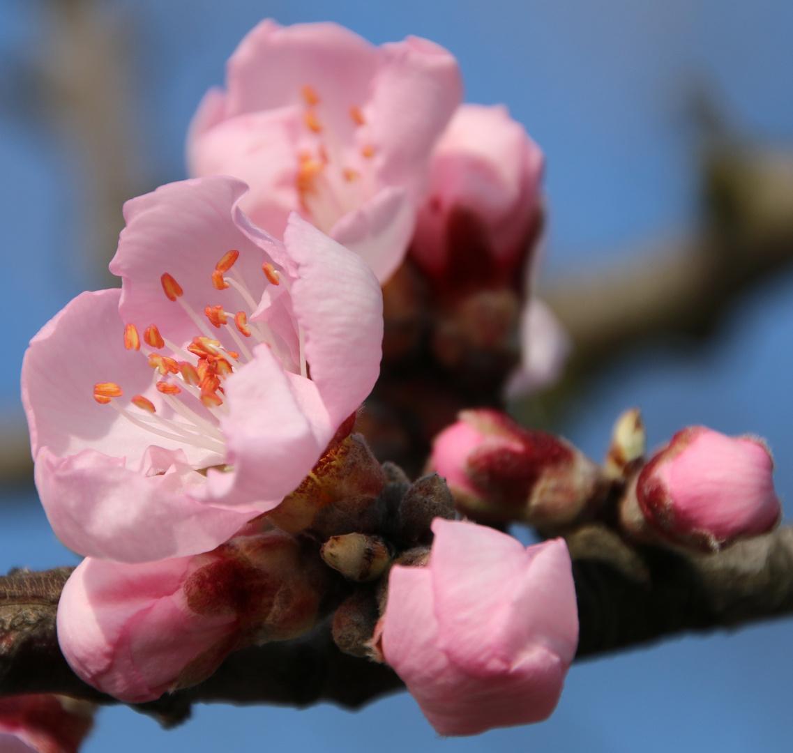 Mandelblüte in der Pfalz 3
