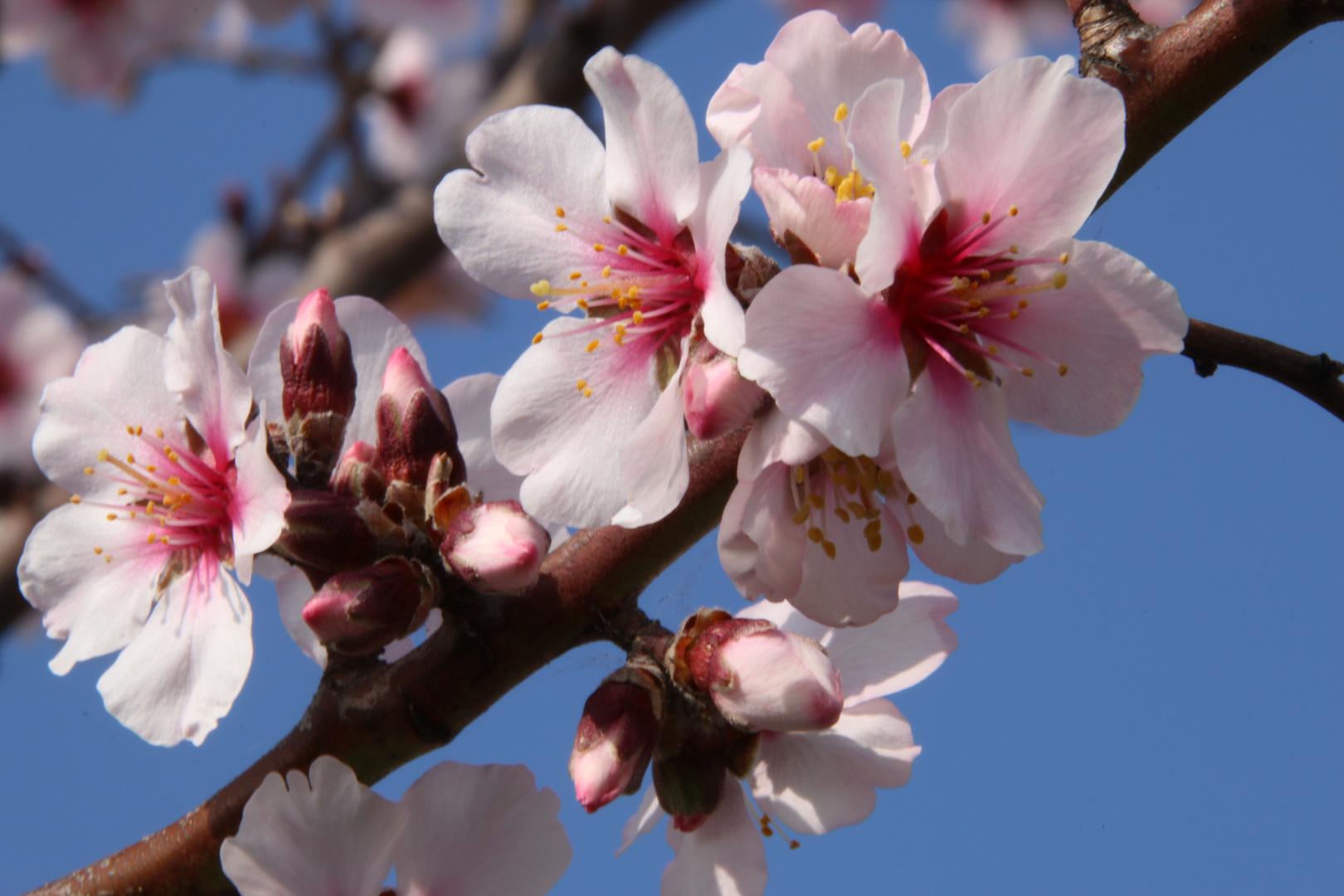 Mandelblüte in der Pfalz 6