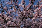 Mandelblüte in der Pfalz 9