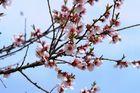 Mandelblüte in Gimmeldingen/Pfalz