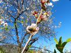 Mandelblüte in Istan nähe Marbella