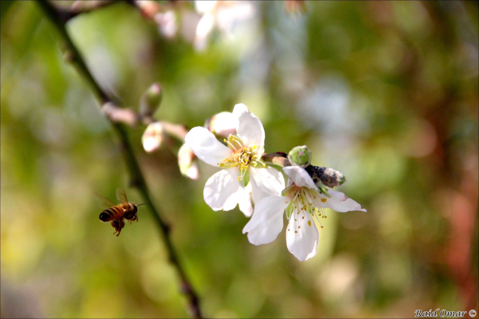 Mandelblüte und eine Biene
