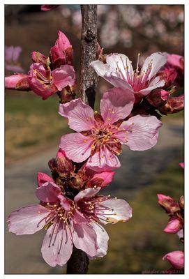 Mandelblüte(2)