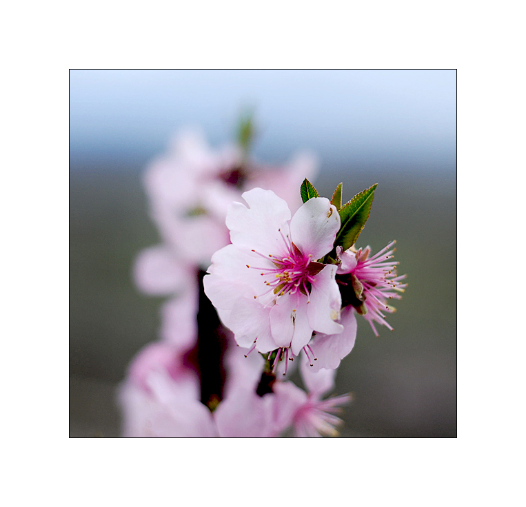 *Mandelblüten*