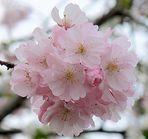Mandelblüten-Ballett