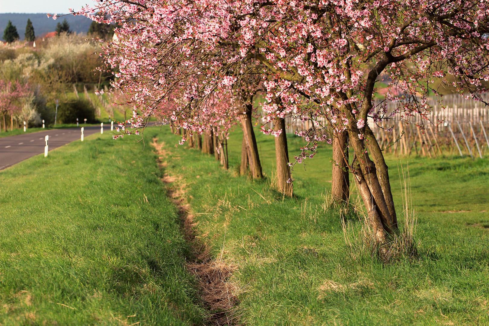 Mandelblüten bei Gimmeldingen