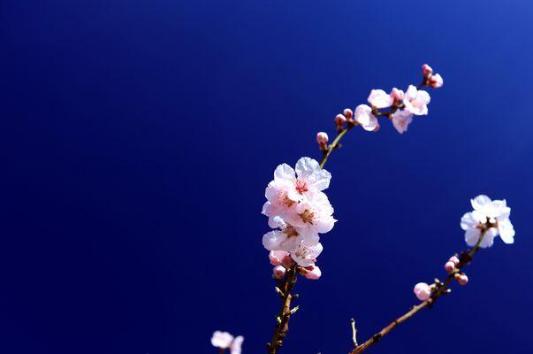 Mandelblüten II