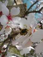 Mandelblüten mit Biene