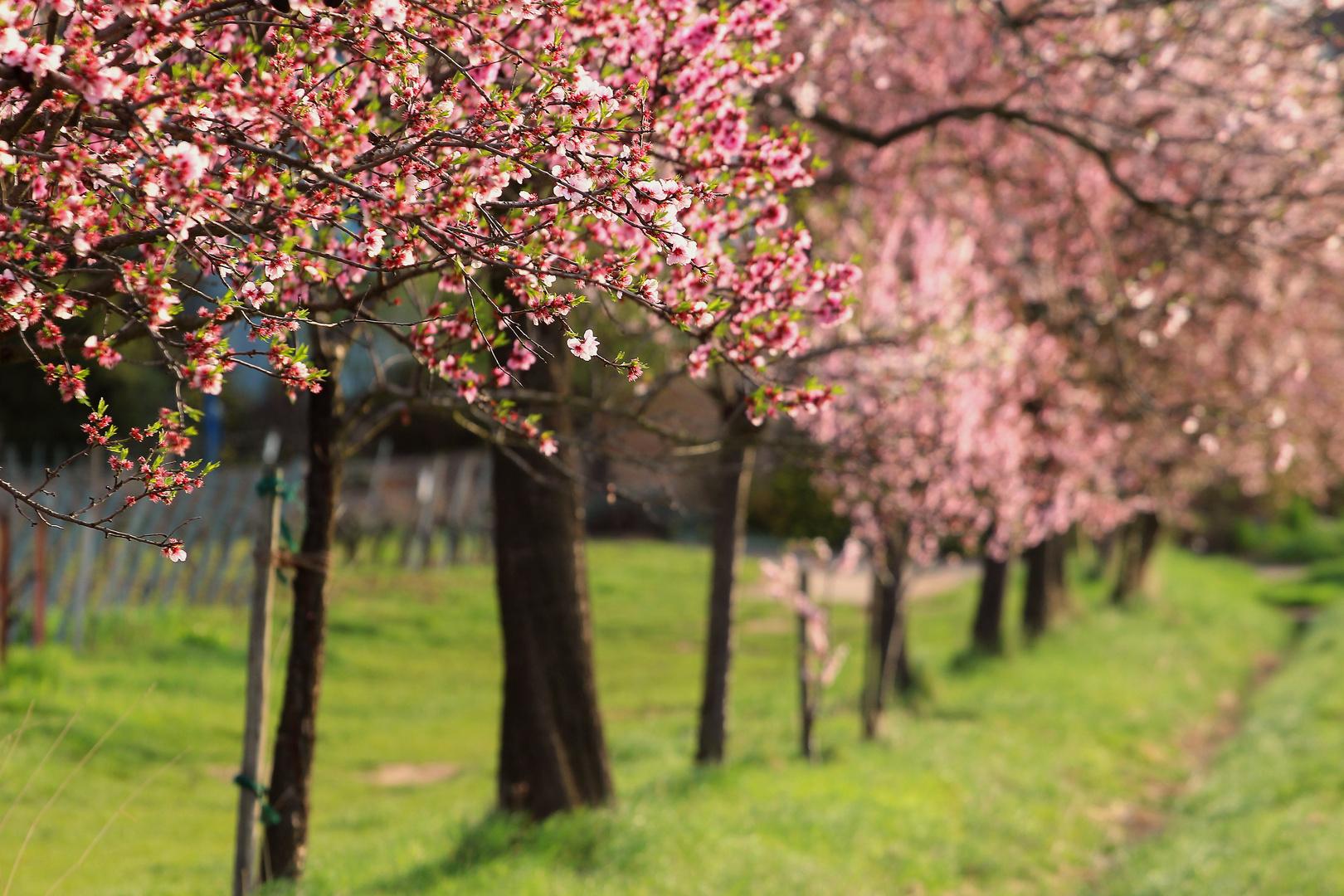 Mandelblütenallee
