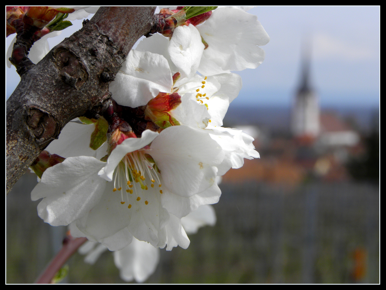Mandelblütenblick auf Maikammer