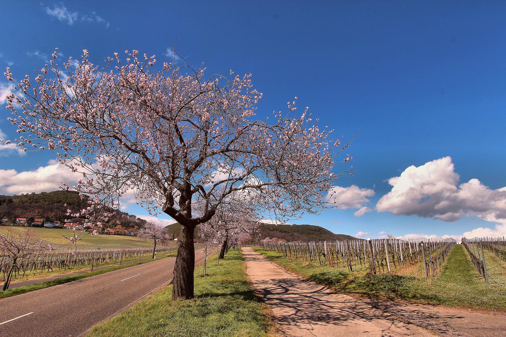 Mandelblütenfühlingstraum
