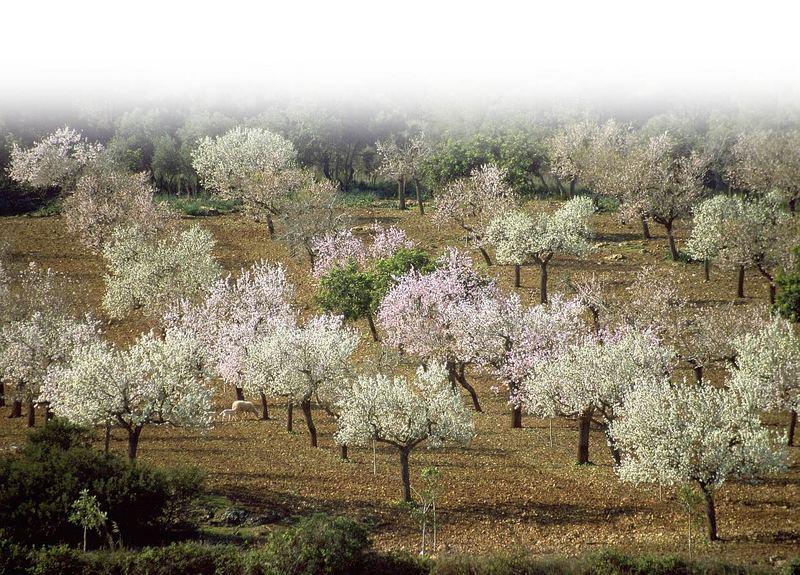 Mandelblütenhain auf Mallorca