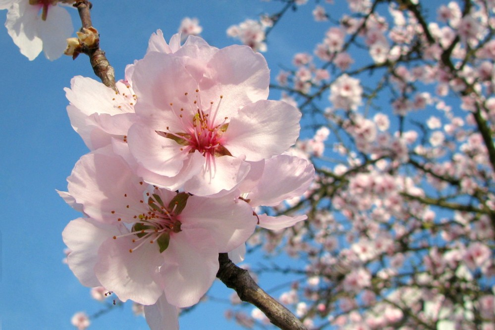 - Mandelblütenreigen -