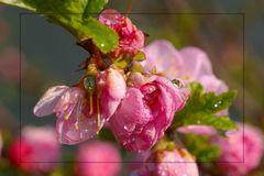 Mandelblütenstrauch