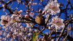 Mandelblütenzeit